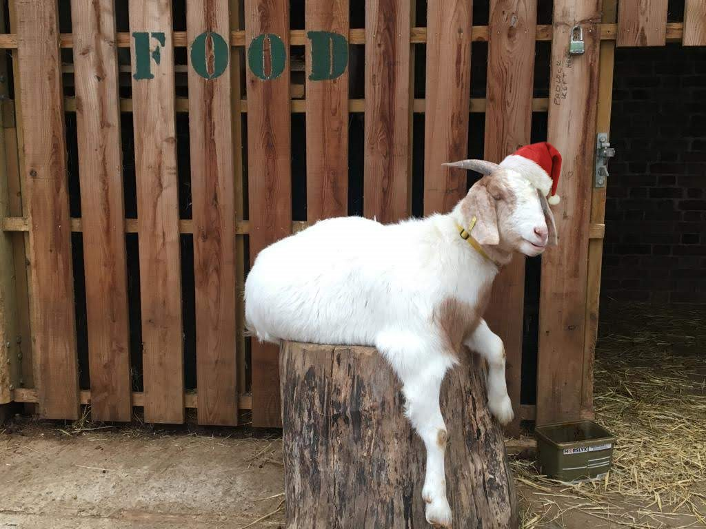 PhotoCredit OasisFarmWaterloo ChristmasGoat
